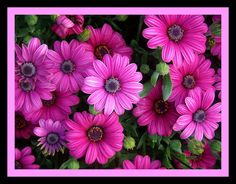 Picture of purple daisies.