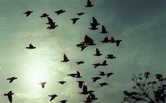 Hundreds of racing pigeons vanish in 'Bermuda triangle' of birds - Telegraph