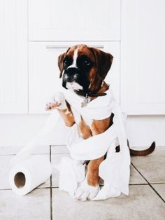 doggy wrapped in toilet paper. boxer