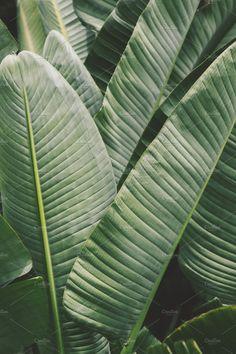 Large Strelitzia Leaves by René Jordaan Photography on @creativemarket