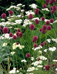 """Allium sphaerocephalum, also referred to as the 'Drumstick' Allium, blooms in late June, producing 1"""" diameter flower heads. These wine-colored blooms sway in the wind on top of 24-30"""" sturdy stems. A magnificent plant with a long bloom time, these Allium add great interest and movement to the garden while also being deer resistant. They look amazing when planted among ornamental grasses and other low-growing perennials!"""