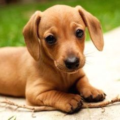 I want a miniature daschund!! :)