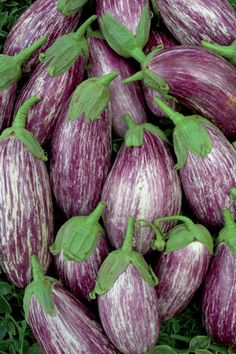 Eggplant Listada Di Gandia (solanum melongena). This early maturing, delicately striped eggplant is yet another example of a fine Italian heirloom. The 15-20cm fruit have fine flesh and almost seedless fruit. Yields 3.5kg per plant.