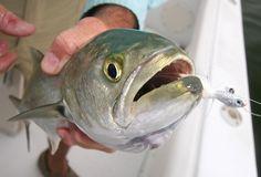 Florida bluefish