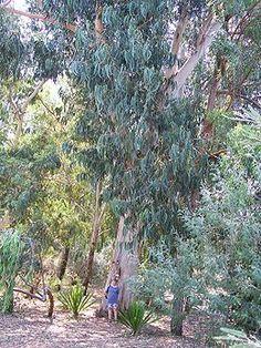 Kapcsolódó kép Eucalyptus Globulus, Flora, Plants, Childhood, Education, Australia, Infancy, Plant, Onderwijs