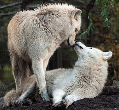 Discovered by Myrddion Merlinus. Find images and videos about love, nature and cute animals on We Heart It - the app to get lost in what you love. Wolf Photos, Wolf Pictures, Animal Pictures, Beautiful Creatures, Animals Beautiful, Cute Animals, Wild Animals, Coyotes, Bark At The Moon