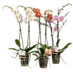 Orchideeën; altijd mooi, bloeide de mijne maar al weer! Gekregen van mijn lieve vriendinnetje na mijn operatie in april 2013.