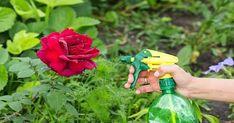 Йод и молоко прогнали тлю с моих роз. А у меня уже и руки опустились