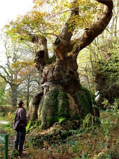 The Big Belly Oak: The stunning #BigBellyOak is thought to be 1000 to 1100 years old! It would have stood in William the Conqueror's time when the forest was in Norman ownership. It has a girth of 11 metres and its 'belly' is at risk of splitting, so it's been fitted with a metal strap to hold it together. http://www.ancient-tree-hunt.org.uk/discoveries/newdiscoveries/2009/the_big_belly_oak?utm_source=pinterest&utm_medium=social&utm_campaign=wt_2014 #AncientTrees #trees #history