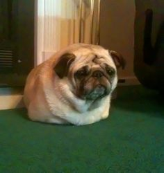 rastasamoorai:My dog thinks she's a burrito. She…almost always sleeps like this.