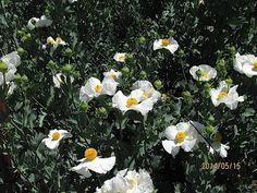 Growing Matilija Poppies - Matilija Nursery - California Native Plant and Iris Nursery