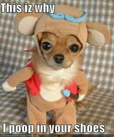 You thought Chloe from Beverly Hills Chihuahua could nag? This little chihuahua is fromChina and is by far th. Cute Dog Costumes, Animal Halloween Costumes, Puppy Costume, Chihuahua Costumes, Bear Costume, Dogs In Costumes, Funniest Costumes, Moose Costume, Weird Costumes