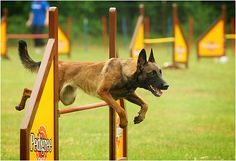 Can't decide whether or not to go Malinois or BC for agility. Berger Malinois, Belgian Malinois Dog, Old Sparky, Belgium Malinois, Saarloos, Belgian Shepherd, Dog Agility, Australian Cattle Dog, Working Dogs