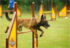 Malinois doing agility