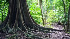 Tree, Jungle, Roots, Forest, Trunk, Nature, Costarica