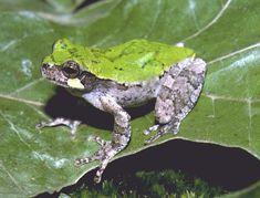 "Bird-voiced TreeFrog (Hyla avivoca). Status listed as ""special concern"" in Kentucky."