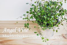 Whether you train Muehlenbeckia complexa on a trellis, or allow it to trail, you'll love easy-care Angel Vine aka Maidenhair Vine as a houseplant.