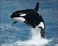 Beautiful Orca