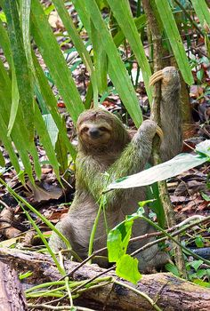 I used to not like algae, but now it's growing on me Pictures Of Sloths, Cute Sloth Pictures, Animal Pictures, Cute Baby Sloths, Cute Baby Animals, Beautiful Creatures, Animals Beautiful, Three Toed Sloth, Hamster