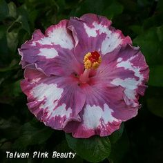 Hibisco💞 Small Trees, Hibiscus Flowers, Garden Crafts, Begonia, Pretty Flowers, Gardening Tips, Perennials, Planting Flowers, Exotic