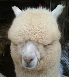 Where my alpaca yarn comes from!!!  I want one as a pet!