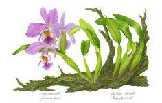 Resultado de imagem para orquidea ilustração CATTLEYA