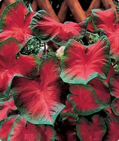 Caladiums - LOVE it, and a great color for shady gardens when you are hesitant to use Impatiens