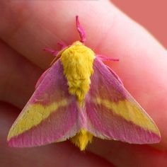 I am pinning this Rosy Maple Moth for my daughter. I had no idea this pink moth existed. very cute. Beautiful Bugs, Beautiful Butterflies, Amazing Nature, Hello Beautiful, Beautiful Things, Amazing Animals, Animals Beautiful, Cute Animals, Rosy Maple Moth