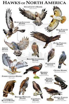 Hawks of North America Poster Print / Field Guide - Maure Spinks Hawk Species, Bird Species, Animal Species, Bird Pictures, Animal Pictures, Love Birds, Beautiful Birds, Bird Facts, Hawk Bird
