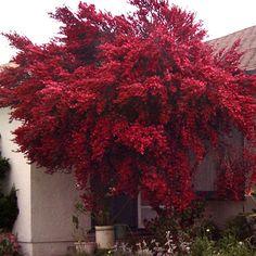 floral leptospermum scoparium ruby glow