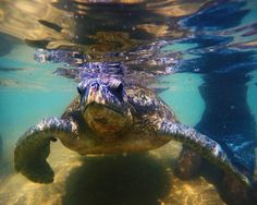 Lilla Turtle