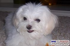 Ok, Everyone show me all your babies in their haircuts - Page 3 - Maltese Dogs Forum : Spoiled Maltese Forums