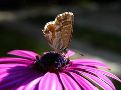 Butterfly on the daisy by ilpavone2004