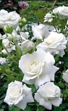 Foto rosas brancas que lindas