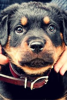 My Rottweilers past and present are amazing family pets.