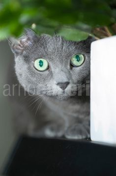 This cat looks just like mine. Cosmo!
