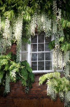 Green White Gardens - Big Small: This white wisteria is so striking! - and what a frame for the window!