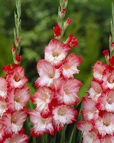 Gladiolus 'Pink Lady'