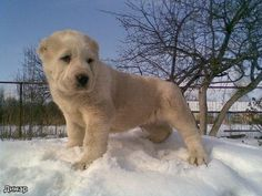 ... dog dogs working alabai dog breed central asian shepherd türkmenistan