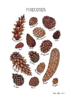+It+is+a+field+guide+classification+chart+and+features+the+Pine+Cones+of+North+America. <br> It+includes+these+pine+cones: Bristlecone Eastern+White Jack Limber Lodgepole Lollylob Longleaf Pitch Pinyon Ponderosa Red Scotch Shortleaf Slash Sugar <. Botanical Illustration, Botanical Prints, Tree Illustration, Rustic Winter Decor, Winter Decorations, Pine Cone Christmas Decorations, Tree Identification, Nature Prints, Art Nature