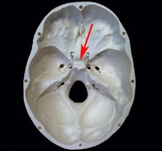 fig. 62. the occipital bone (top view): 1 - a large wing of the, Human Body