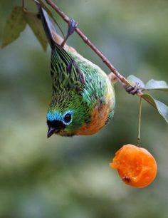 Saíra-lagarta brassy breasted tanager bird by Lailah Kinds Of Birds, All Birds, Little Birds, Love Birds, Tropical Birds, Exotic Birds, Colorful Birds, Pretty Birds, Beautiful Birds