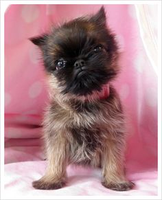 Brussels Griffon. I wants and Ewok dog!!!       OMG this Brussels is sooo cute!! They truly are a special breed!