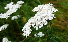 Women with gynecological problems should consume yarrow and lady's mantle tea, as they have many benefits and they're good for their health. Home Remedies, Natural Remedies, Achillea Millefolium, Herbs, Tea, Drinks, Baked Goods, Essential Oils, Baking