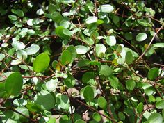 The angel vine, also known as Muehlenbeckia complexa, is a long, vining plant native to New Zealand that is very popular grown on metal frames and screens. Click this article to learn more about angel vine propagation and how to care for angel vine plants.