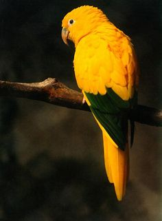 The Ararajuba, or Golden parakeet, is Brazil's National Symbol and an endangered species. This beautiful bird is threatened by habitat destruction and capture for the pet trade.