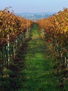 Italian vineyard in November