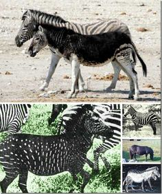 melanistic animals - Melanistic zebras aren't all-black, though on occasion they come close. Instead, the mutation acts on the width of the black stripes, crowding out the white to varying degrees. Sometimes the effect is startling and unusual, depending on the strength of the melanistic gene and how it acts on certain individuals.