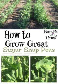 Garden Landscaping If you're looking for the best ways to grow great sugar snap peas in your home garden, you're in the right place. Read here for tips and tricks for growing peas that are crisp, nutritious and delicious. Gardening For Beginners, Gardening Tips, Flower Gardening, Gardening Supplies, Gardening Shoes, Gardening Magazines, Urban Gardening Berlin, Growing Peas, Pot Jardin
