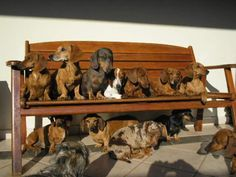 """""""Must Come Early To Get a Good Seat"""" ~everyone loves a dachshund"""